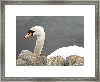 Swanness Framed Print