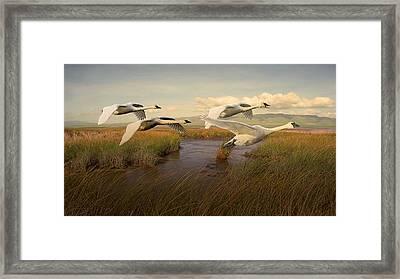 Swans Aloft At Dawn Framed Print