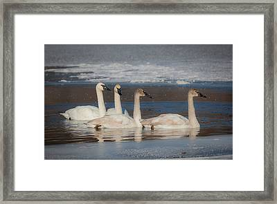 Swans And Cygnets Framed Print