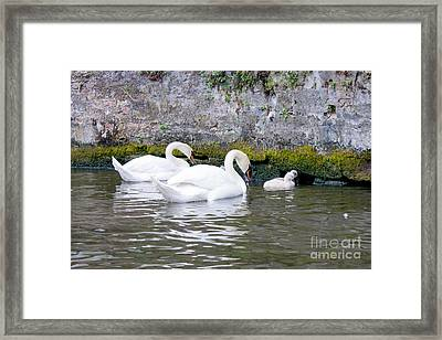 Swans And Cygnets In Brugge Canal Belgium Framed Print
