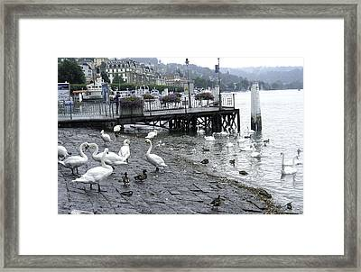 Swans And Ducks In Lake Lucerne In Switzerland Framed Print by Ashish Agarwal