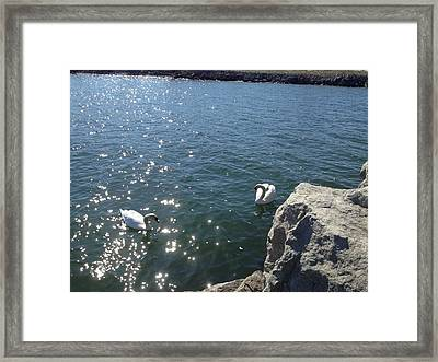 Swans And Sparkles Framed Print by Pema Hou