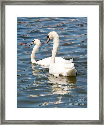Swans And Swirls Framed Print by Carol Groenen