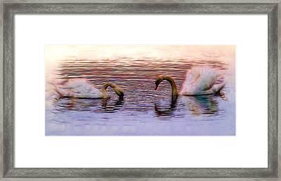 Swans At Sunset Framed Print