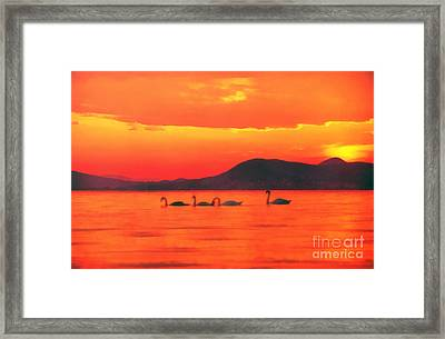 Swans At Sunset In Balaton Lake Framed Print by Odon Czintos