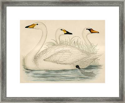 Swans Framed Print by Beverley R Morris