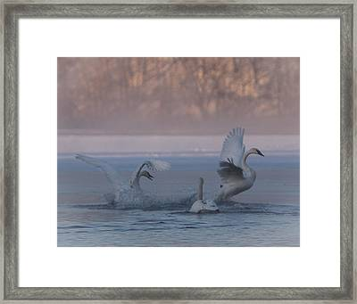 Framed Print featuring the photograph Swans Chasing by Patti Deters