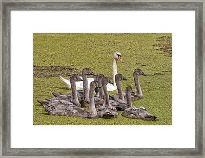 Swans Family Framed Print