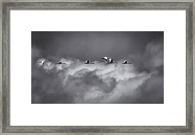 Swans Flying With The Storm Framed Print by Thomas Young