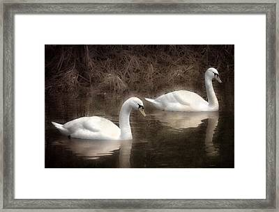 Swans For Life Framed Print by Jason Green