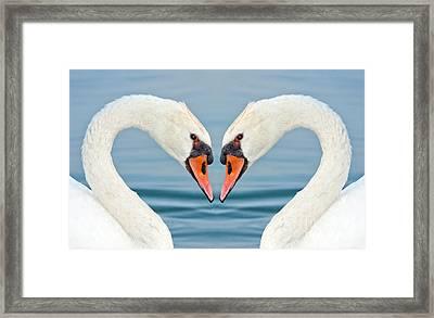 Swans Heart  Framed Print