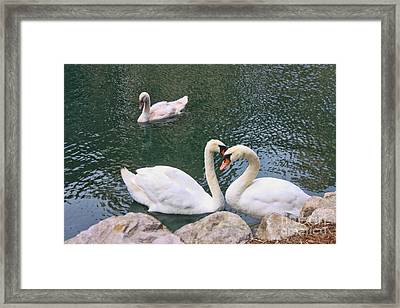 Swans In Love Framed Print by Lidia Anderson