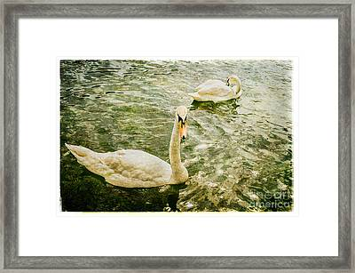 Swans In Marlow Framed Print