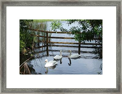 Swans In The Pond Framed Print
