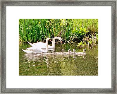 Swans Framed Print by Janice Drew