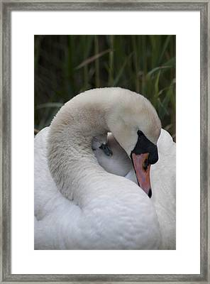 Swans Love Framed Print by Terry Cosgrave