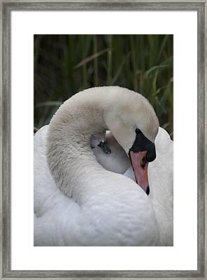 Swans Love Framed Print