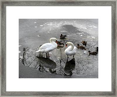 Swans On Thin Ice Framed Print by Brian Chase