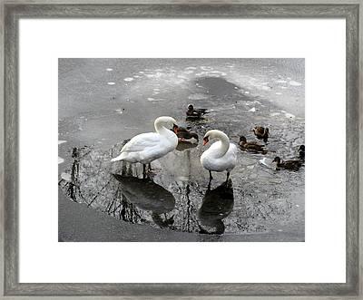 Swans On Thin Ice Framed Print