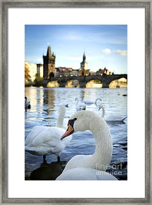 Swans On Vltava River Framed Print by Jelena Jovanovic