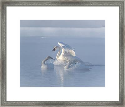 Framed Print featuring the photograph Trumpeter Swans - Three's Company by Patti Deters