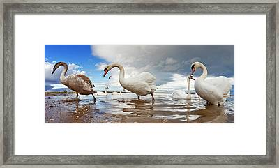Swans Wading In The Shallow Water  Holy Framed Print
