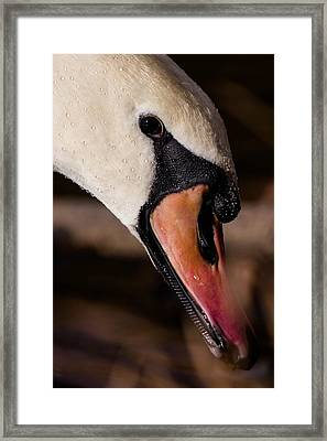 Swan's Wet Head Framed Print