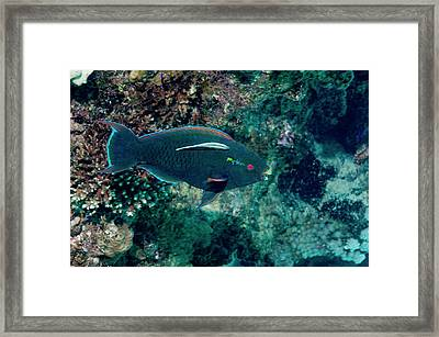 Swarthy Parrotfish With Cleaner Wrasse Framed Print