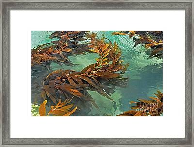 Swaying Seaweed Framed Print by Susan Wiedmann