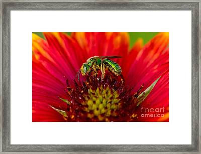 Sweat Bee Collecting Pollen Framed Print by Anthony Mercieca
