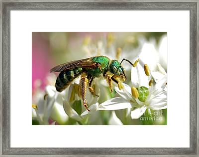 Sweat Bee Framed Print by Kathy Baccari