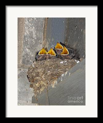 Swallow Chicks Framed Prints