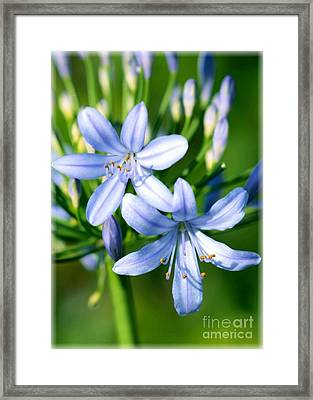 Sweet African Lily Framed Print