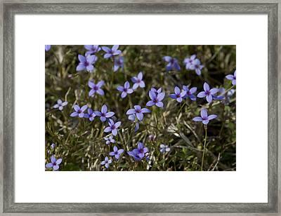 Sweet Alabama Tiny Bluet Wildflowers Framed Print