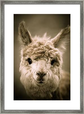 Sweet Alpaca Framed Print