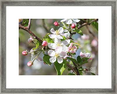Sweet Apple Blossoms Framed Print by Carol Groenen