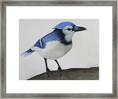 Sweet Blue Jay Framed Print by Mary Gaines