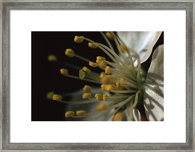Sweet Cherry Flower Framed Print by Retro Images Archive