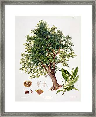 Sweet Chestnut Framed Print by Johann Kautsky