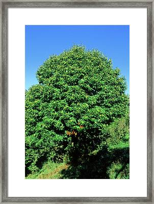 Sweet Chestnut Tree (castanea Sativa) Framed Print by Bruno Petriglia/science Photo Library