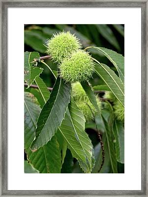 Sweet Chestnuts (castanea Sativa) Framed Print by Bob Gibbons