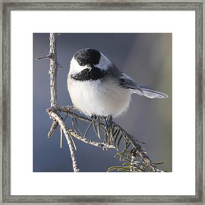 Sweet Chickadee Framed Print by John Kunze