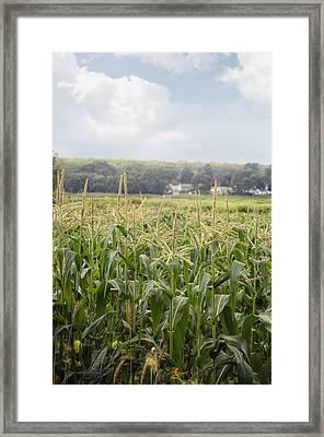 Sweet Corn Grows On A Connecticut Farm Framed Print