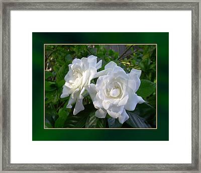 Sweet Gardenia Framed Print by Ginny Schmidt