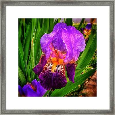 Sweet Iris Perfection Framed Print