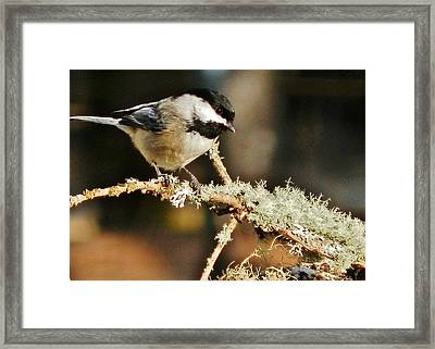 Sweet Little Chickadee Framed Print by VLee Watson