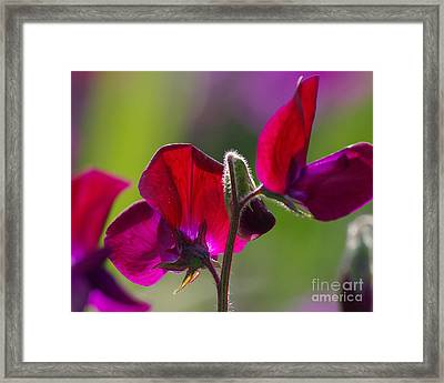 Sweet Pea  2.1788 Framed Print