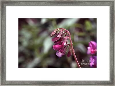 Sweet Pea 6jul77r Framed Print by Stephen Parker