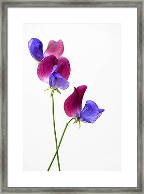 Sweet Pea Cupani Flowers On White Framed Print by Tim Gainey
