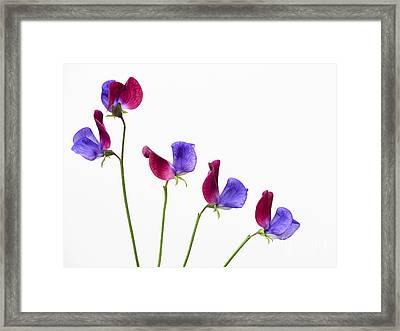 Sweet Pea Cupani Flowers Framed Print by Tim Gainey